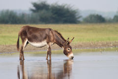 Young fertile donkey drinking water Royalty Free Stock Photo