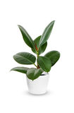 Young Ficus elastica a potted plant  over white Stock Photography