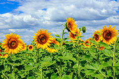 Young field of sunflowers  horizontal. Young field of sunflowers under the blue sky horizontal Stock Photo