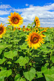 Young field of sunflowers vertical. Young field of sunflowers under the blue sky vertical Royalty Free Stock Images