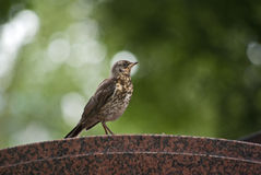 Young fieldfare Stock Photos