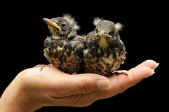 Young Fieldfare bird Royalty Free Stock Photos