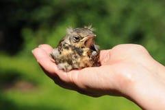 Young Fieldfare bird (Turdus pilaris) Royalty Free Stock Photography