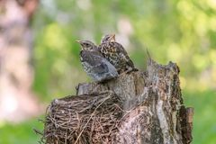 Young fieldfares Turdus pilaris sitting next to each other royalty free stock photo