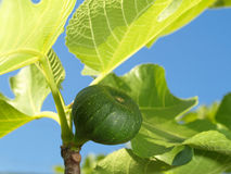Young fig Royalty Free Stock Image