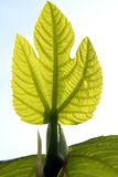 Young fig leaf. Fig leaf is a reference to a covering up of a fact of life, such as the human pubic area in sculpture, but often to obscure a fact of life in its Stock Image