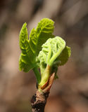 Young fig leaves Royalty Free Stock Image