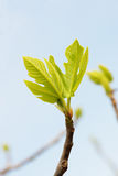 Young fig leaves Royalty Free Stock Photography