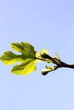 Young Fig Tree Leaves and Fruits Royalty Free Stock Photos