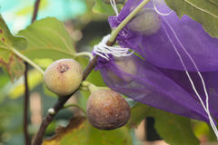 Young figs Stock Image