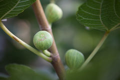 Young figs Royalty Free Stock Images