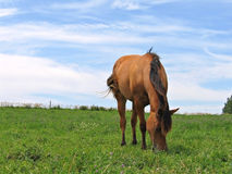 Young filly grazing. Young quarter horse filly grazing in a pasture on a sunny day Stock Photography