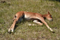 A sleepy young Filly Stock Photography