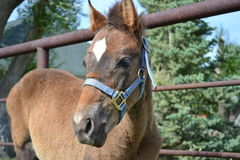 Closeup of a young Thoroughbred cross filly Royalty Free Stock Images