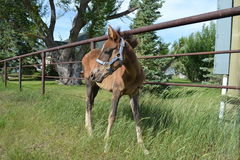 Young Thoroughbred cross filly in a pasture stock photo