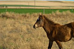 Young Filly at play. A young Filly enjoys turnout time and burns a little pent up energy playing Stock Photos