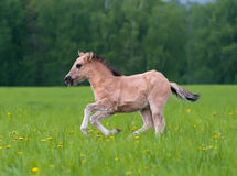 Young filly running in the field of dandelions Stock Image