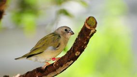 Young Finch Bird Royalty Free Stock Images