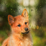 Young Finnish Spitz looking out the window Royalty Free Stock Photography
