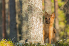 Young Finnish Spitz Royalty Free Stock Photo