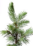 Young fir. Royalty Free Stock Photos