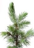 Young fir. Royalty Free Stock Photos
