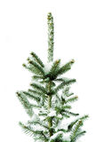 Young fir. Stock Images