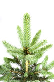 Young fir. Stock Photo