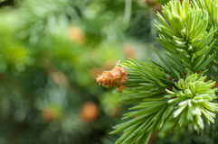 Young fir branch Stock Image