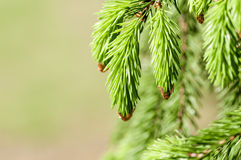 Young fir branch Royalty Free Stock Photography