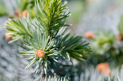 Young fir branch Stock Photography