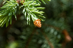 Young fir branch Royalty Free Stock Images