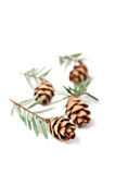 Young fir cones Stock Photography