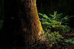 Young fir in a Dark forest on Tuscany Mountain. Stock Photos