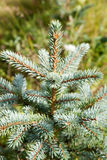 Young fir. Royalty Free Stock Image