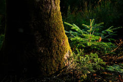 Young fir in a mysterious dark forest in tuscany mountains Royalty Free Stock Images