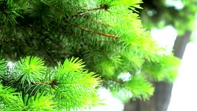 Young fir needles in front of the sun. Young fir needles in front of the bright sun stock footage