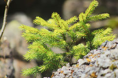Young fir tree in the Alps Royalty Free Stock Photo