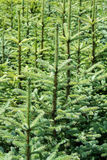 Young fir tree Stock Images
