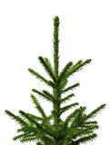 Young fir-tree isolated on a white. Background Stock Photography