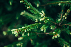 Young fir tree needles with water drops. Horizontal close up of morning dew on fir tree branches with forest in the Royalty Free Stock Images