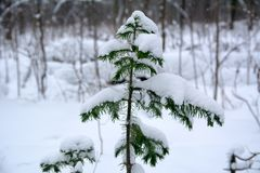 Young spruce. Young fir tree in the winter forest Royalty Free Stock Images