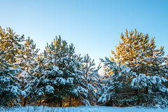Young fir trees covered with snow Royalty Free Stock Photo