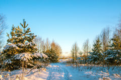 Young fir trees covered with snow Stock Photos