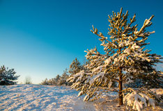 Young fir trees covered with snow Royalty Free Stock Photos