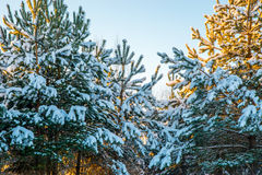 Young fir trees covered with snow Royalty Free Stock Photography