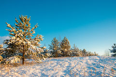 Young fir trees covered with snow on the hill Royalty Free Stock Photography
