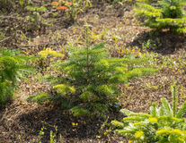 Young fir trees Royalty Free Stock Images