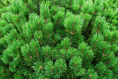 Young firs, needles. Young pines, needles, firs, fir tree, texture or background, eco wallpaper Stock Photo