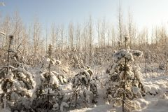 Young firs, in winter Stock Photos